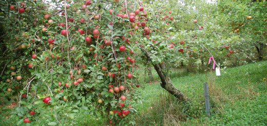 Apple Tree Loaded with Fruit