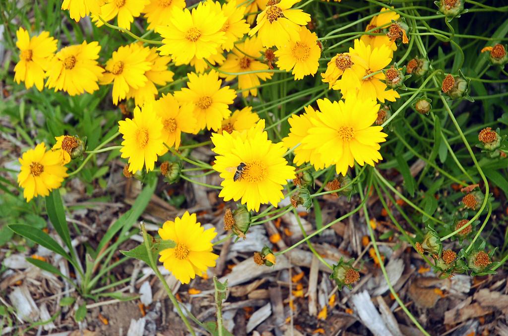 Bee on Coreopsis Flower