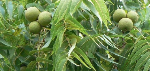 Walnut Tree from KCD