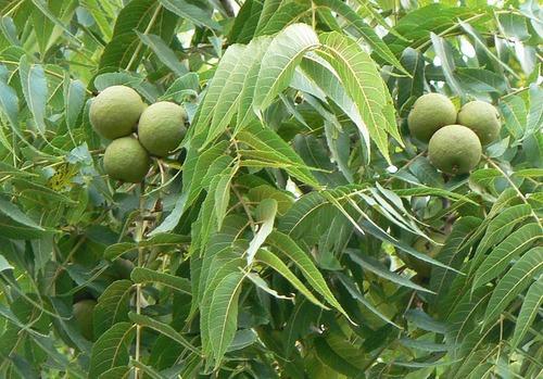 Walnut Tree from KCD