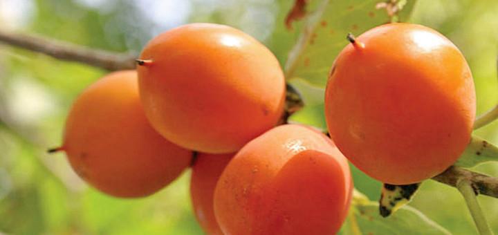 American Persimmon Fruit