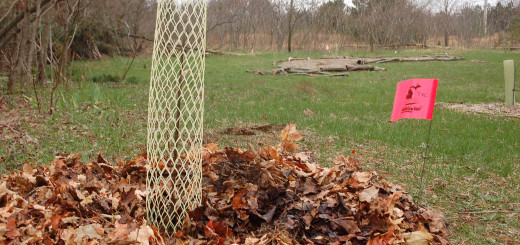 Serviceberry Seedling in Mesh Protector