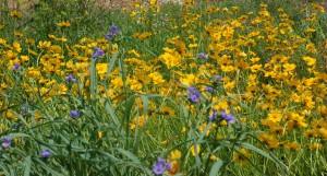Native Wildflowers