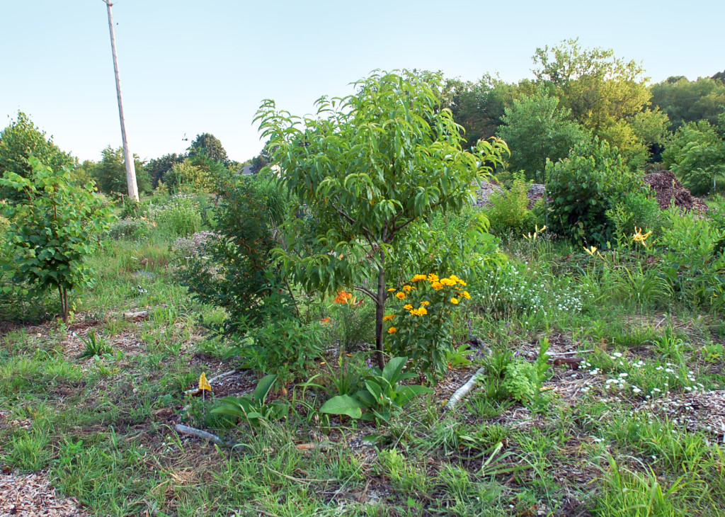 Young peach tree at Rustling Knapweed garden