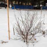 Winter Forms of Woody Perennials